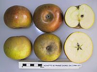 Cross section of Reinette de France (Nord), National Fruit Collection (acc. 1948-221).jpg