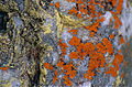 Crustose Lichens (Caloplaca sp.) (9855545104).jpg