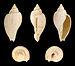Cryptochorda stromboides 01.JPG