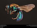 Cuckoo Wasp (Chrysididae from Canada) (37490636026).jpg