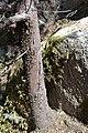 Cupressus nevadensis Hobo Ridge Grove (19) - Flickr - theforestprimeval.jpg