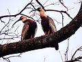 Curicacas no Pantanal.JPG