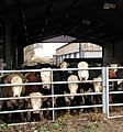 Curious cattle - geograph.org.uk - 1132917.jpg
