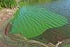 Cyanobacteria Aggregation1.jpg