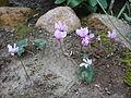 Cyclamen hederifolium - Murattisyklaami, Höstcyclamen DSC07937 C.JPG