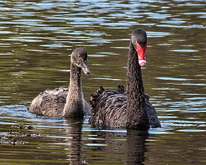 Black swan - Adult with a cygnet in New Zealand