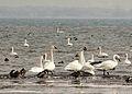 Cygnus buccinator -Lake Erie, Michigan, USA-8.jpg