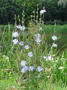 Common Chicory, Cichorium Intybus, Is A Herbaceous Perennial Plant