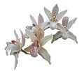 Cymbidium miss taipe orchids.JPG