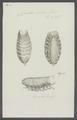 Cymothoa oestrum - - Print - Iconographia Zoologica - Special Collections University of Amsterdam - UBAINV0274 098 11 0008.tif