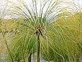 Cyperus papyrus 1zz.jpg