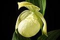 Cypripedium macranthos '1904 Rebun' Sw., Kongl. Vetensk. Acad. Nya Handl. 21 251 (1800) (40767535403).jpg