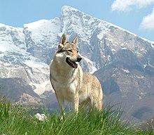 O cão-lobo checo, híbrido do cruzamento entre lobos selvagens e cães.