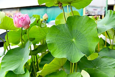 D85 1539 Nelumbo Lotus Photographed by Trisorn Triboon.jpg