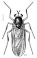 DIPT Stratiomyidae Inopus rubriceps.png