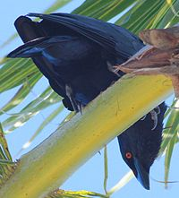 DRbirds White-Necked Crow 2c.jpg