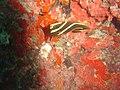 DSC00290 - peixe listrado - Naufrágio e recifes de coral no Nilo.jpg