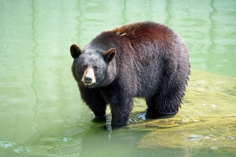 File:DSC09322 - North American Black Bear (37223656595).jpg