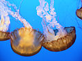 "DSC36019, Sea Nettle (""Chrysaora Fuscescens""), Monterey Bay Aquarium, Monterey, California, USA (6655436495).jpg"