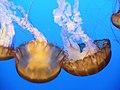 """DSC36019, Sea Nettle (""""Chrysaora Fuscescens""""), Monterey Bay Aquarium, Monterey, California, USA (6655436495).jpg"""
