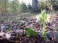 Dactylorhiza sambucina sl25.jpg