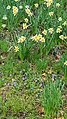 Daffodils and violets - Daffodil Hill - Lake View Cemetery (32083836930).jpg