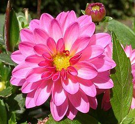 http://upload.wikimedia.org/wikipedia/commons/thumb/9/91/DahliaDahlstarSunsetPink.jpg/275px-DahliaDahlstarSunsetPink.jpg