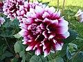 Dahlie rotweiss.jpg