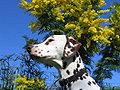 Dalmatien foie.jpg