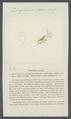 Daphnia sima - - Print - Iconographia Zoologica - Special Collections University of Amsterdam - UBAINV0274 099 06 0009.tif