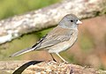 Dark-eyed Junco, Washington State 04.jpg