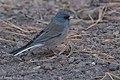 Dark-eyed Junco ( gray-backed) Rustler Park Chiricahuas AZ 2017-10-10 14-03-12 (38689710861).jpg