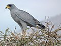 Dark chanting Goshawk in Tanzania 1417 cropped Nevit.jpg