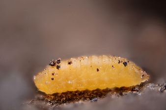 Dasineura brassicae larva (24588608865).jpg