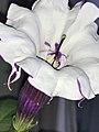 Datura metel 'Fastuosa' - fully-open flower, pistil protruding.jpg