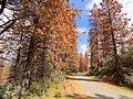 Dead trees along a mountain road (31038654445).jpg