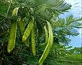 Delonix regia (Caesalpiniaceae).jpg