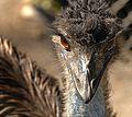 Demure Emu - Flickr - Andrea Westmoreland.jpg