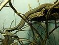 Dendroaspis polylepis (1).jpg