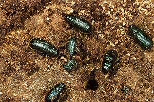 Dendroctonus rufipennis - Image: Dendroctonus micans beetles