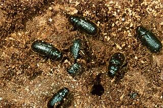 <i>Dendroctonus rufipennis</i> Species of beetle