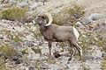 Desert Bighorn Sheep (8981481677).jpg