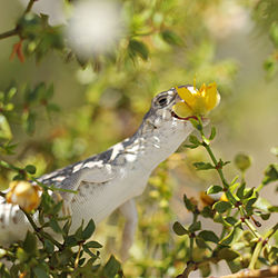 Un autre, en train de manger des fleurs d'arbre à créosote, dans le parc national de Joshua Tree