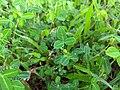 Desmodium triflorum-Cherupulladi, Cherupalladi, Threeflower Ticktrefoil .jpg