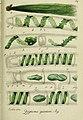 Deutschlands flora in abbildungen nach der natur (1832) (20879881012).jpg