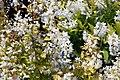 Deutzia gracilis Duncan 1zz.jpg