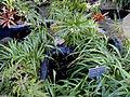 Dianella tasmanica - Balboa Park Botanical Building - DSC06779.JPG
