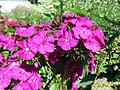 Dianthus (11446110566).jpg