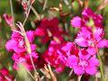Dianthus deltoides IMG 7176.JPG