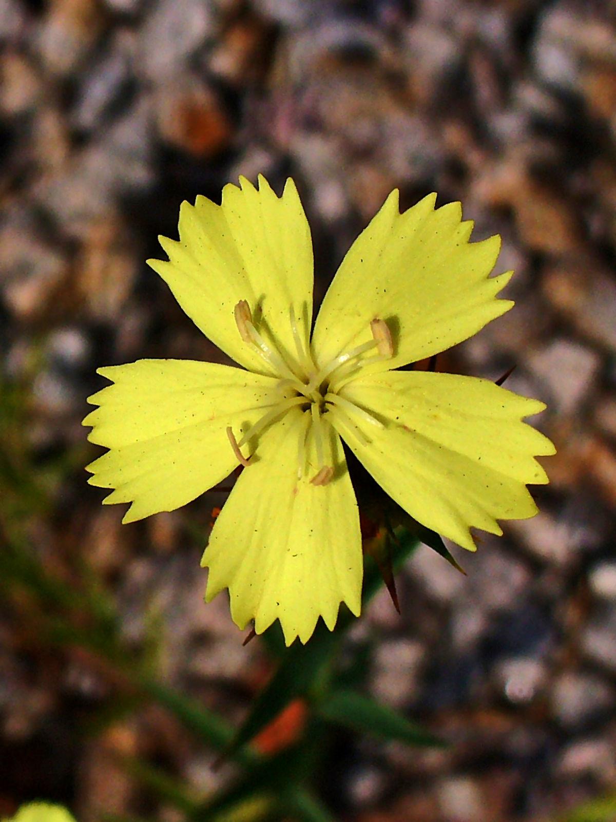 Dianthus Knappii Wikispecies
